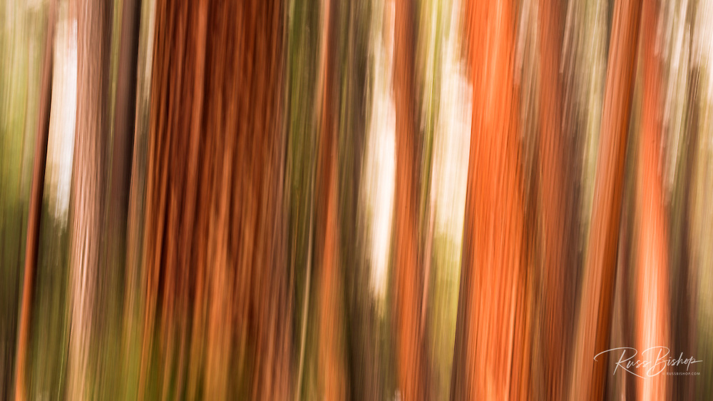 Forest abstract, Yosemite Valley, Yosemite National Park, California
