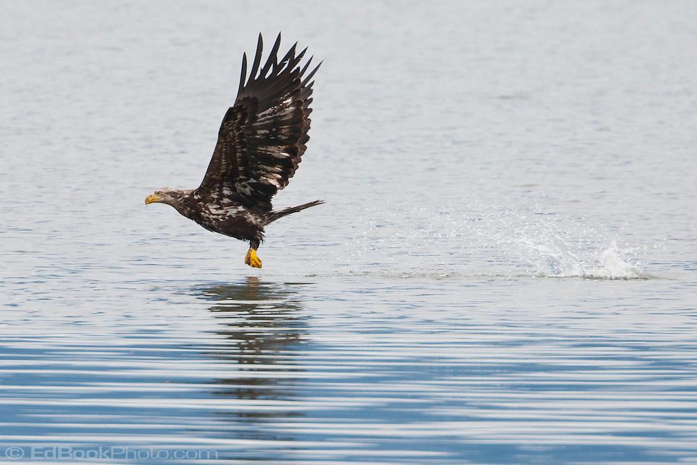 Immature Bald Eagle (Haliaeetus leucocephalus) fishing at the Hood Canal of Puget Sound, Washington, USA