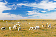 Sheep<br /> Carmichael<br /> Saskatchewan<br /> Canada