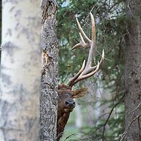 bull elk in trees looking around
