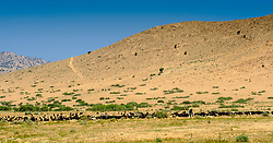 A shepherd  with a large herd of goats in southern Morocco<br /> <br /> (c) Andrew Wilson | Edinburgh Elite media