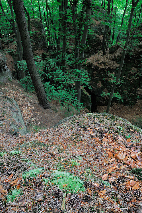 (Leucobryum glaucum) White Cushion Moss, Mullerthal trail, Mullerthal, Luxembourg