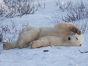 A polar bear stretches and plays while waiting for the Hudson Bay to freeze.