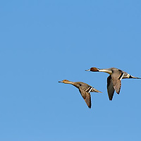 pair, male and femail pintail ducks in flight close up