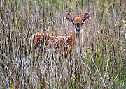 A Whitetail Deer spotted fawn, partially hidden in a field of swamp grass standing perfectly still.