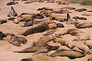 (1992) Elephant seals at Ano Nuevo State Reserve in California. Skin samples are collected for the Dr. B. Leboef study to determine if high social dominance is correlated to reproductive success and if the proportion of copulations a male obtains is proportional to the number of offspring sired. DNA Fingerprinting.