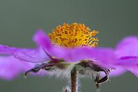 Pink Rockrose, (Cistus creticus), Akamas Peninsula, Cyprus