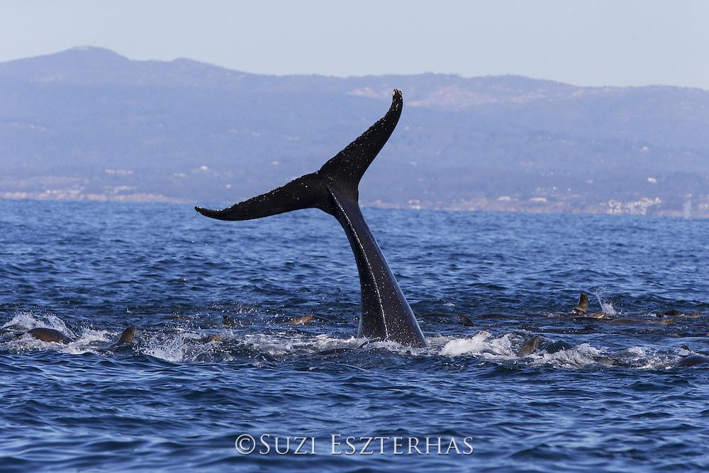 Humpback Whale<br /> Megaptera novaeangliae<br /> Lobtailing while feeding on anchovy with California sea lions (Zalophus californianus)<br /> Monterey Bay, California
