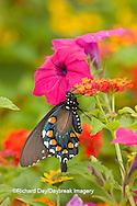 03004-01006 Pipevine Swallowtail (Battus philenor) on Red Spread Lantana (Lantana camara) in butterfly garden, Marion Co.  IL