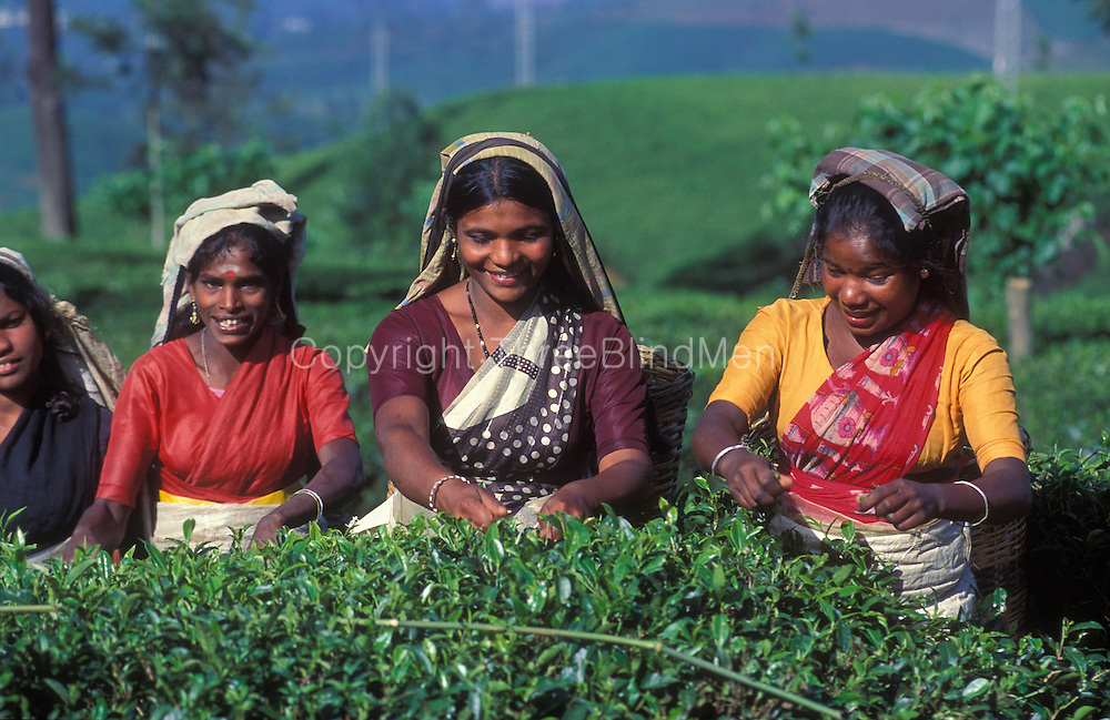 A cheerful and chatty group of tea pluckers on a tea plantation near Nuwara Eliya.
