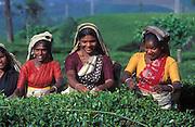 A cheerful and chatty group of tea pluckers on a tea plantation near Nuwara Eliya.
