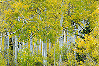 Aspen trees and their leaves are one of the many sights to see during Fall color season in Utah.