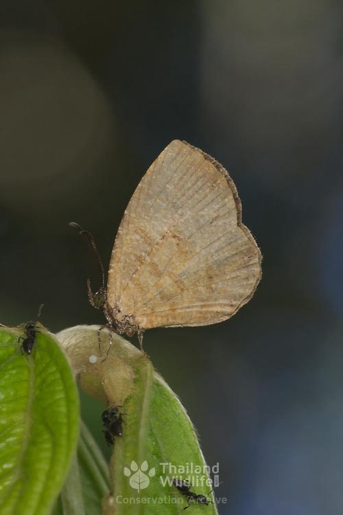 Logania distanti massalia (The Entire Mottle).