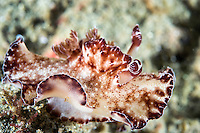 Discodoris Nudibranch mimicking a flatworm<br /> <br /> Shot in Indonesia