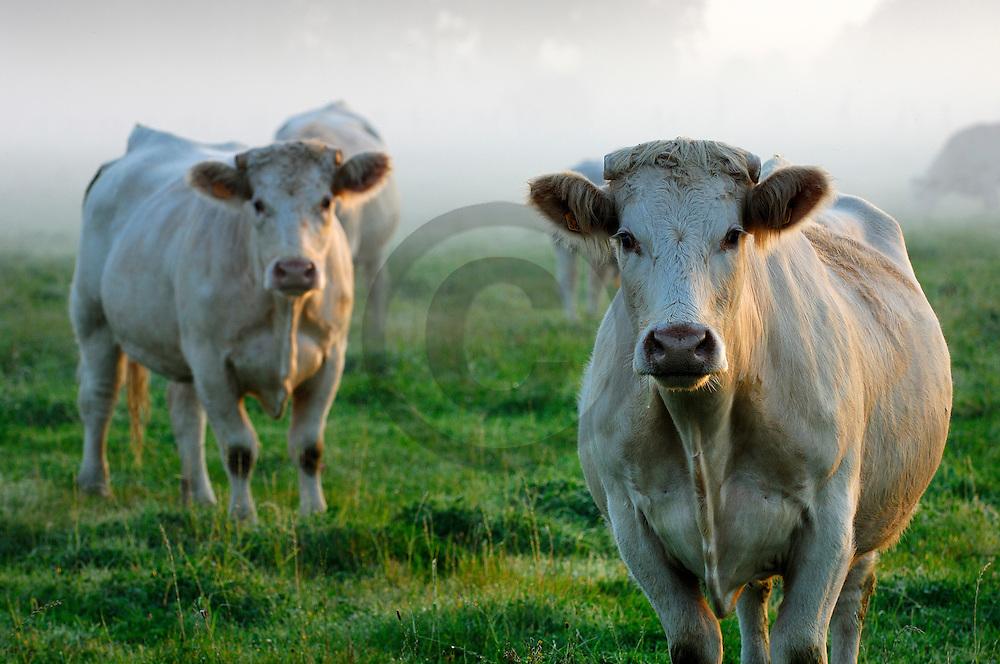 15/09/07 - MONDEVIOLLE - PUY DE DOME - FRANCE - Elevage de bovins allaitants. Vaches CHAROLAISES - Photo Jerome CHABANNE