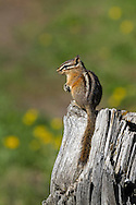 Perched atop a fallen log, this least chipmunk waits for a larger uinta ground squirrel to leave the area so he can continue feeding.
