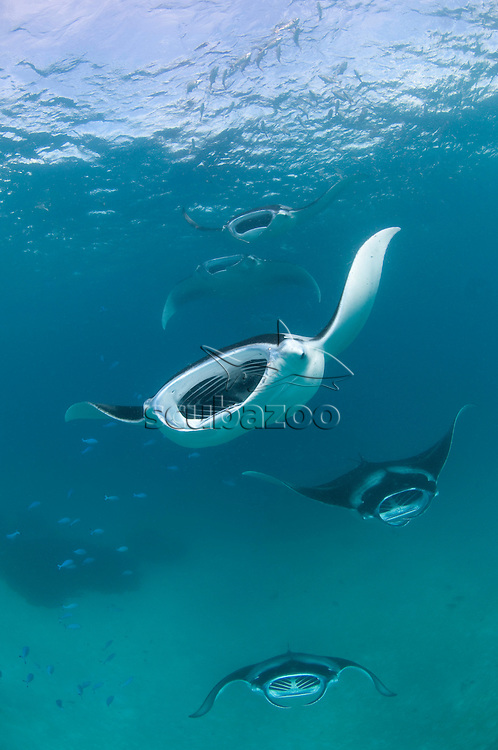 Several Manta Rays, Manta birostris, feeding, Baa Atoll, Maldives