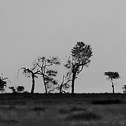 Scene of dead and alive trees seen against the horizon. Black & White.