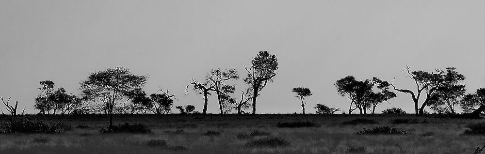 Scene of dead and alive trees seen against the horizon. Black & White.