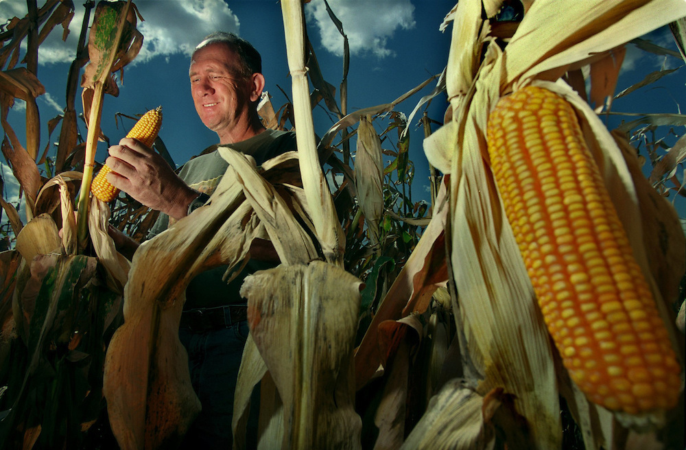 Bill Horan inspects an ear of corn in his biotech corn field. Bill despite the controversy over biotech foods, is continuing to plant with biotech seeds because he believes in the technology.