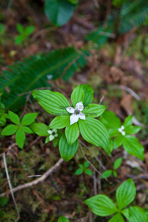 Eagle Nook Wilderness Resort and Spa is located on a remote area of Vancouver Island.   Hiking through the private forests is one of the many adventures available to guests at the resort.  Pictured here are bunchberry plants in bloom.