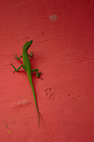 Cute green anole sitting on a vibrant watermelon coloured wall.