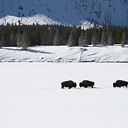Bison seem to create a trafic jam on a lonely field of snow
