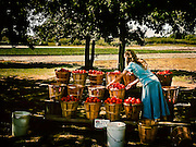 A woman at Rowand's Farm Market sorting through baskets of tomatoes, pulling any that are bruised or split.