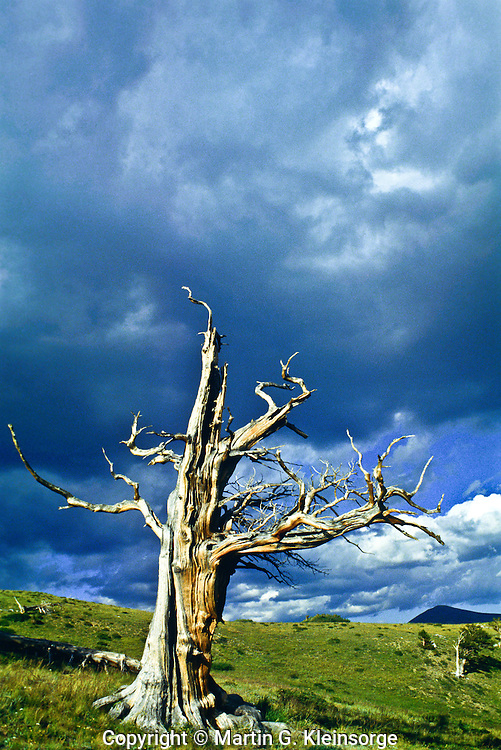 This dead Bristlecone resists decay due to the high concentration of resin canals.  Wendy Ridge, Colorado.