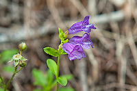 Serrulate penstemon growing on the western side of Oregon's Larch Mountain. Out of the many similar species of penstemon found in the Pacific Northwest, this one is easily identified by the serated, saw-like edges of its leaves.
