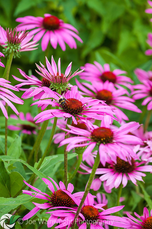 A bee polinates echinaceas in an English garden.