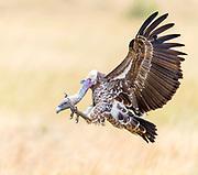 Ruppell's Griffon Vulture (Gyps ruppelli) landing in Maasai Mara, Kenya.