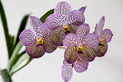 Purple Spotted Vanda Orchid #1
