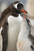 A close-up of a gentoo chick begging the adult  penguin for food.