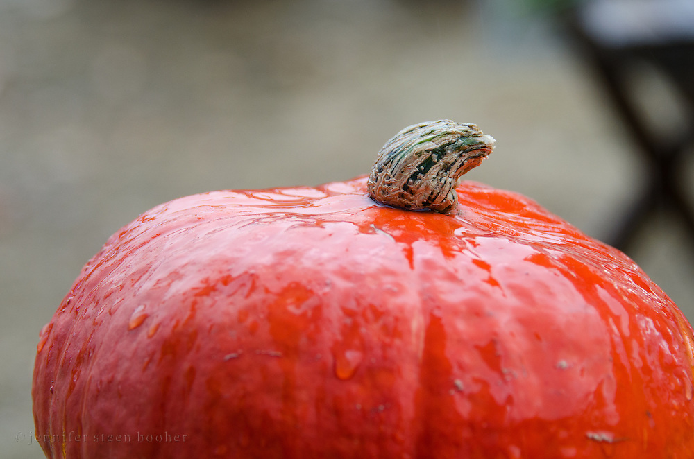 Close-up view of an heirloom variety 'Rouge vif d'etampes' pumpkin in the rain, Common Ground Fair, Unity Maine.