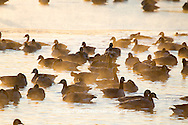 00748-05510 Canada Geese (Branta canadensis) flock on frozen lake,  Marion Co, IL