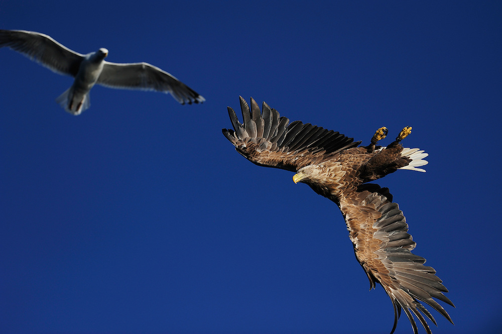 White tailed sea eagle (Haliaeetus albicilla) and Greater Black-backed gull, Flatanger, Norway. August 2008.