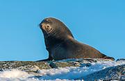 Antarctic Fur Seal (Arctocephalus gazella) from Hydruga Rocks, the Antarctic Peninsula.