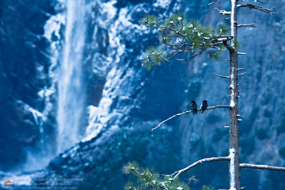 Crows (Corvidae corvus) in front of Bridalveil Fall, Yosemite