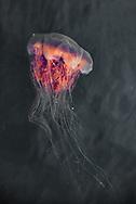 Lion's Mane Jellyfish, Klemtu, British Columbia