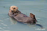 sea otter, Enhydra lutris ( Endangered Species ), Valdez, Alaska ( Prince William Sound )