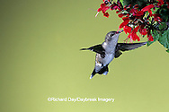 01161-001.17 Black-chinned Hummingbird (Archilochus alexandri) female on salvia flower   AZ