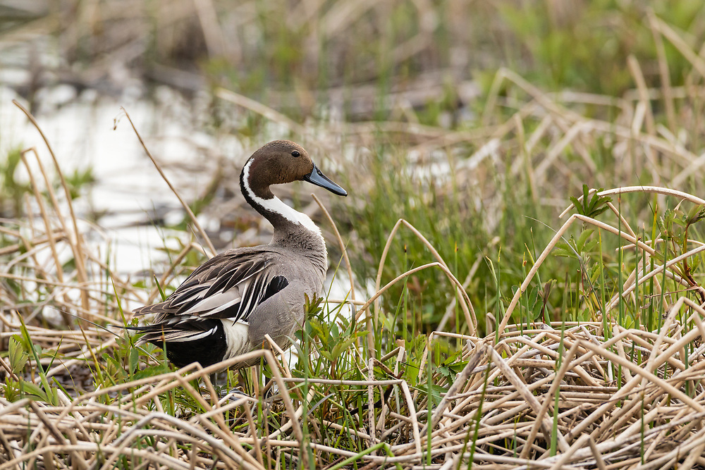 Male Northern Pintail (Anas acuta) preening at Potter Marsh in Southcentral Alaska. Spring. Morning.