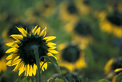 Asia, Thailand, Northern Thailand, Chang Mai, Sunflowers are grown throughout northern Thailand, replacing opium as a cash crop