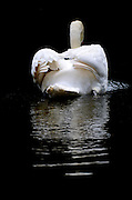Swan in a pond swims away from camera