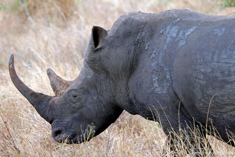 Africa, Kenya, Meru. White Rhino of Meru National Park Rhino Sanctuary.