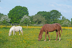 © Licensed to London News Pictures. 23/05/2019.<br /> Downe,UK. Horses grazing in a sunny yellow field of buttercups in Downe village, Kent. Photo credit: Grant Falvey/LNP