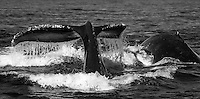 Humpback whales  (Megaptera novaeangliae) dive for anchovies in the Monterey Bay.