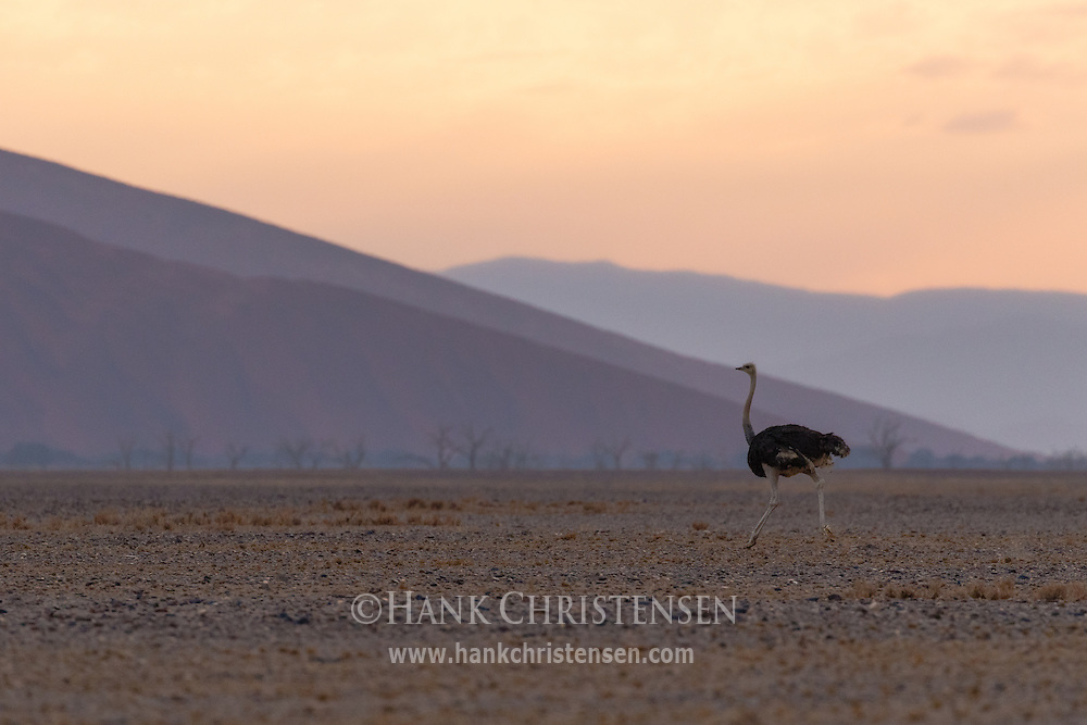 A male ostrich runs across the desert floor after a pre-dawn thunderstorm, Namib-Naukluft National Park, Namibia.