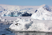 Crystal Sound, Antarctic Peninsula, Antarctica - An Adelie penguin is about to jump off a bergy bit, a piece of ice smaller than an iceberg, in Crystal Sound along the Antarctic Peninsula. <br />  ©Ann Inger Johansson/zReportage/Exclusivexpix media